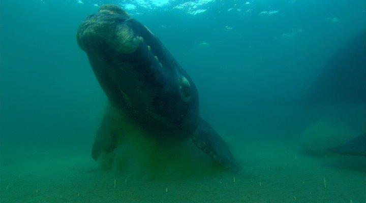 BBC. Морские гиганты / BBC. Ocean Giants (1-3 серии из 3) (2011) BDRip