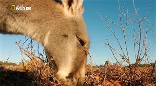 Дикая Австралия / National Geographic: Wild Australia [1-4 серии из 4 ] (2014) HDTVRip | DUB