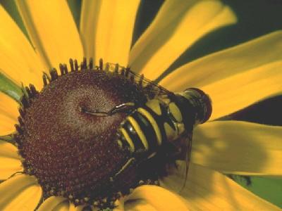 Как пчелы собирают и переносят пыльцу