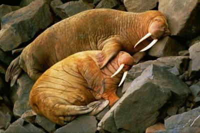 Лежбище моржей