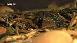 National Geographic. Коллекция живой природы: Ядовитый остров / Wildlife Collection: Venom Islands (2012) HDTVRip от HitWay | DUB