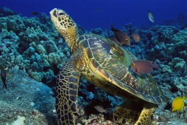 Рекорд морской черепахи