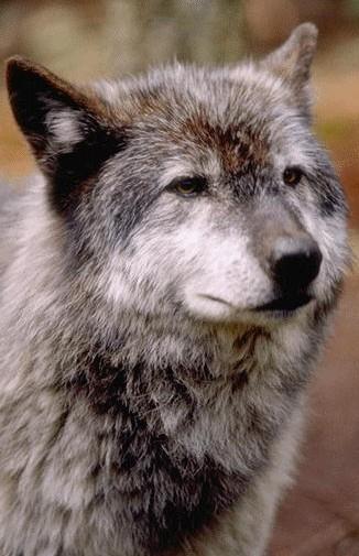 Язык волков