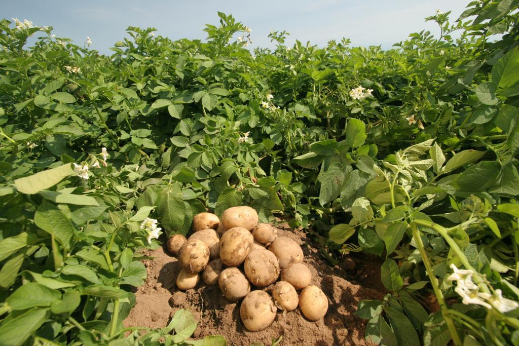 картофель средства для роста