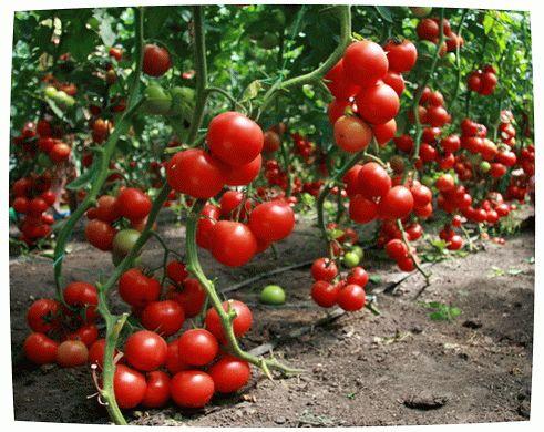 биопрепараты для томатов