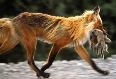 Лисичка-охотница