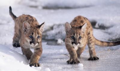 Кошачья охота