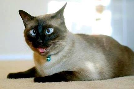 Косоглазие у кошек