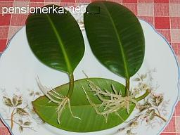 Размножение фикуса каучуконосного в домашних условиях